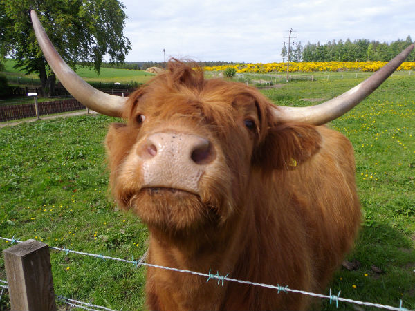 a beautiful hairy coo at Cardhu distilelry Scotland
